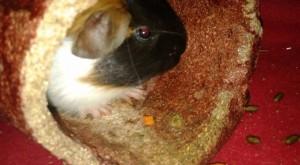 guinea pig lily