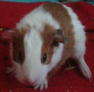 guinea pig nugget