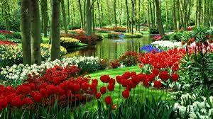 garden red tulips