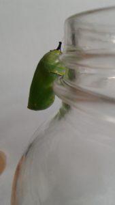 Caterpillars to Butterflies 003