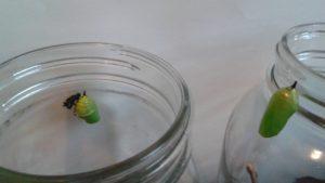 Caterpillars to Butterflies 013
