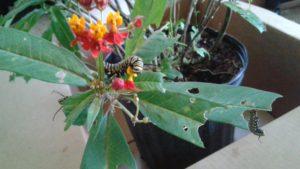 Caterpillars to Butterflies take 10 026
