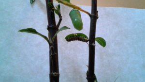 Caterpillars to Butterflies 022