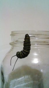 Caterpillars to Butterflies take 2 024