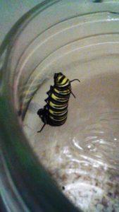 Caterpillars to Butterflies take 2 031